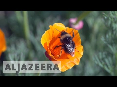 Bumblebees added to US endangered species list