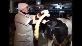 Подготовка коровы к искусственному осеменению
