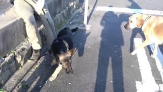 ジャーマンシェパードドッグの男の子の子犬ちゃんと、うちのシェパと、...