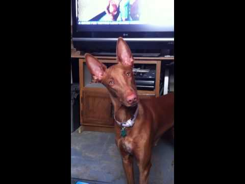My Pharaoh Hound Really Listens to Me