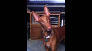 Watch my pharaoh hound crank her head 180 degrees back and forth as...