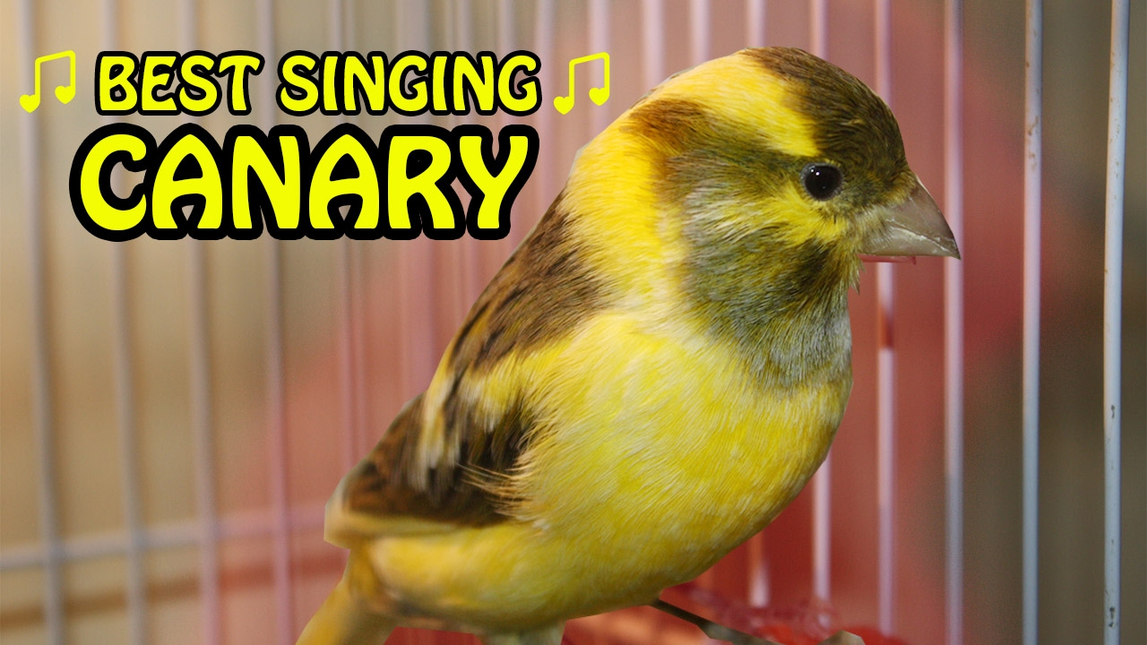 Canary Singing birds sounds at its best | Melodies Canary Bird song |  Training Video