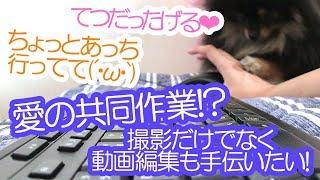 パソコンの使用を邪魔するポメラニアン犬【はなポメ#498】