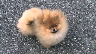 Pomeranian Spitz Love 5 Months
