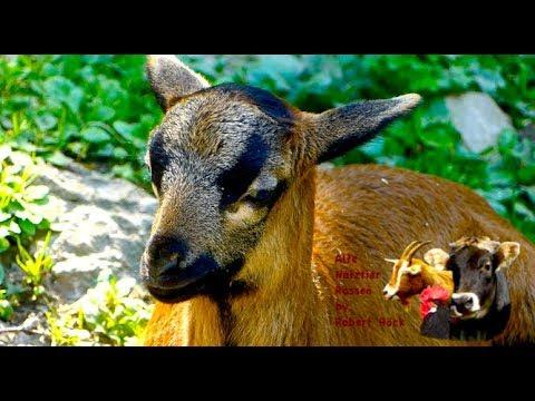 Kamerunschafe - Alte Nutztierrassen Folge 41 - Haarschafe aus Westafrika, cameroon sheep, Schafe