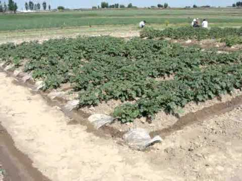Managing a potato crop with reduced water supply in Central Asia.wmv