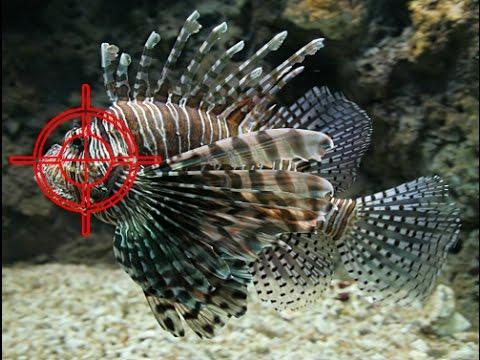 6 kg of lionfish 12 05 2017