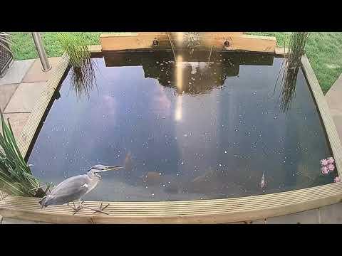 Heron Attacks Koi Carp
