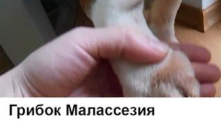 Грибок у собак. Малассезия или малассезионный дерматит