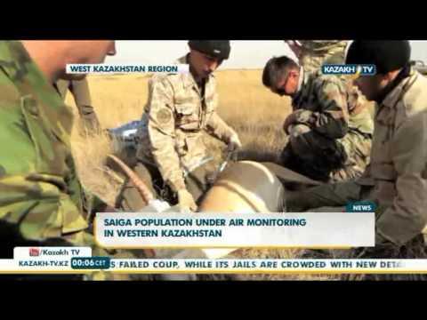 Saiga population under air monitoring in western Kazakhstan - Kazakh TV