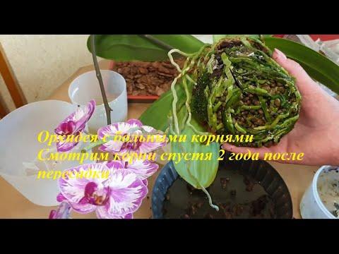 Орхидея с больными корнями#смотрим корни спустя 2 года