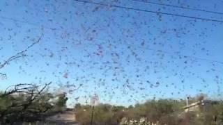 Tucson neighborhood invaded by flying ants