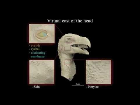 Virtual Vertebrate Paleontology. Gyps fulvus from Alban Hills