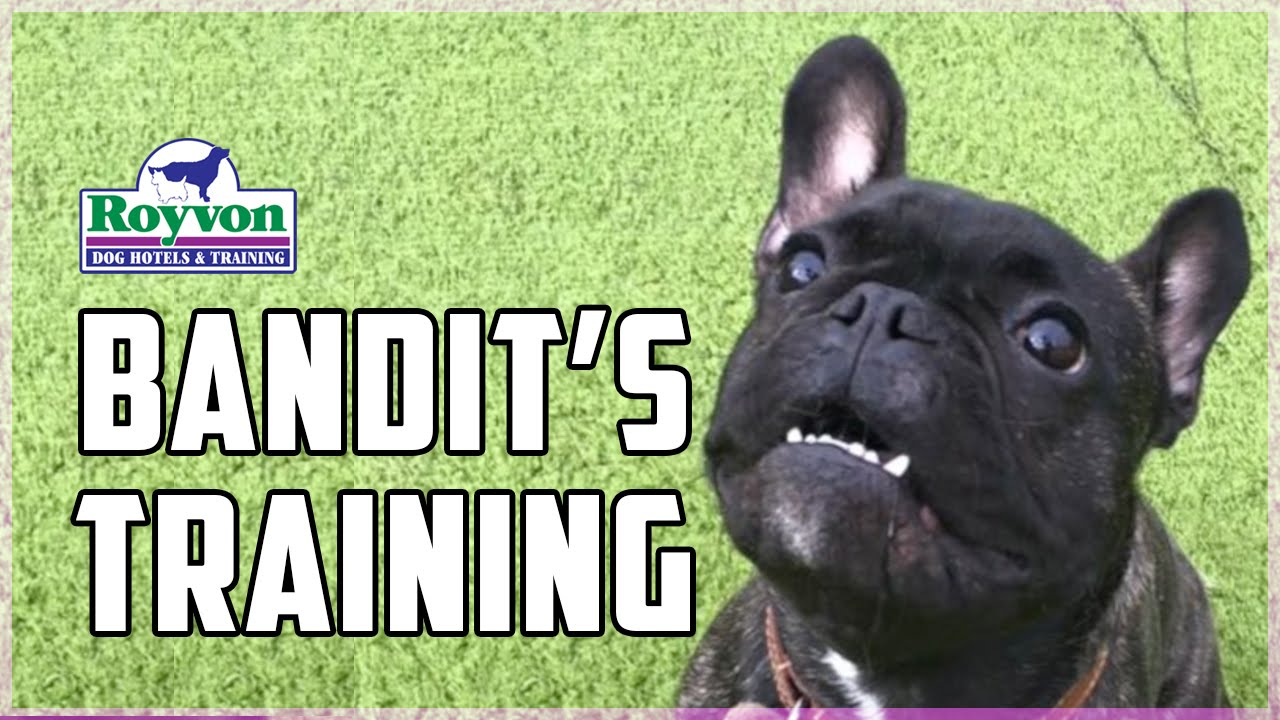 how to overcome fear aggression in your french bulldog