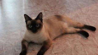 Мой друг Меконгский бобтейл/Mekong Bobtail!!!моя дрессированная Ника!