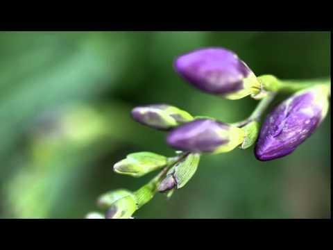 Budding Purple Freesia