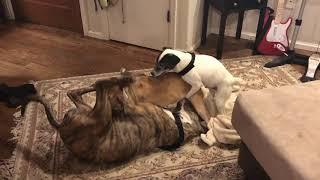 3 Legged Dog In A 3 Dog Gay Orgy