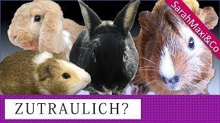 Zutraulich machen/ Zähmen von Kaninchen und Meerschweinchen (Vertrauen gewinnen, handzahm)