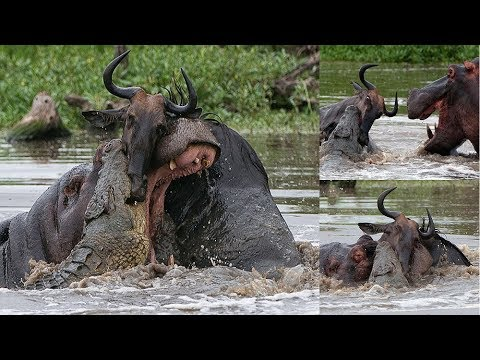 Crocodile Attack Buffalo and Hippo Try to Rescue | Battle at Kruger,Africa