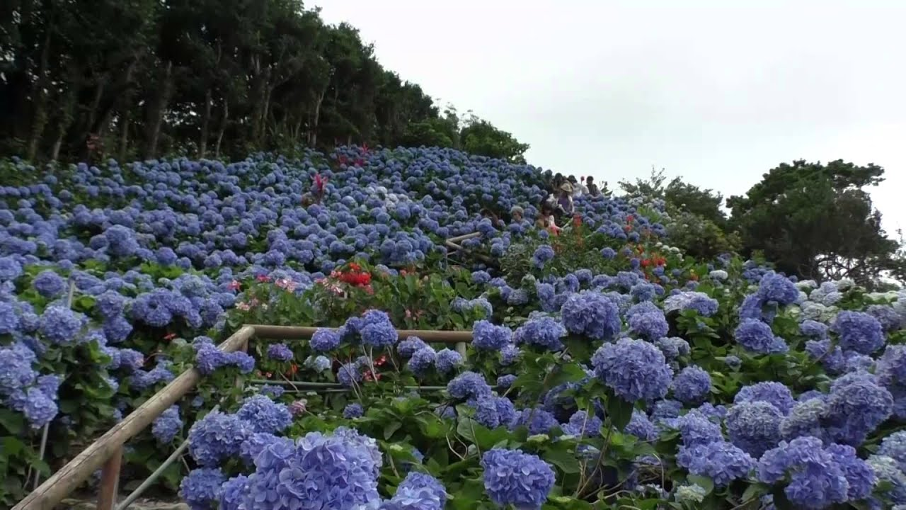 Cuidado de las hortensias en jardin cuidados de las - Cuidado de las hortensias ...