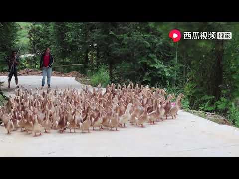 鸭子价格直线上涨,小婷家100只鸭子卖了4100元,这次终于赚钱了