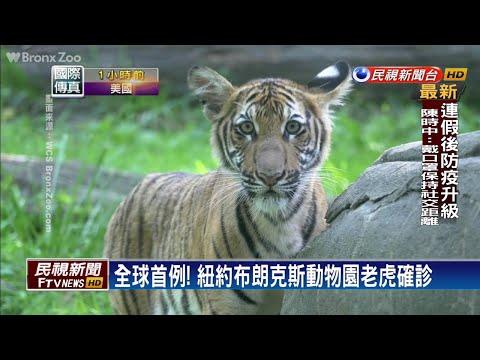 全球首例!紐約布朗克斯動物園老虎確診-民視新聞