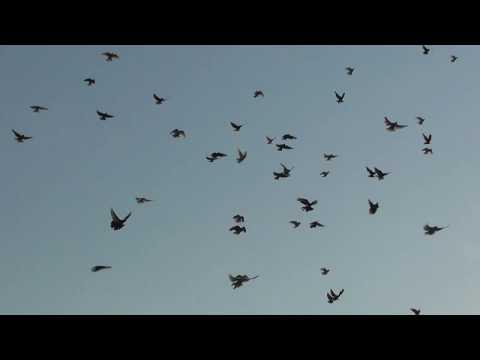 перелеты голубей на питомнике Брагина