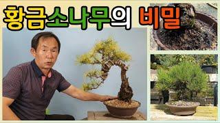 분재관리 143강 황금소나무의 비밀