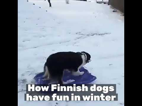 Funny Finnish Dogs in Winter