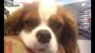 Cavalier King Charles Spaniel Titus Loves His Music