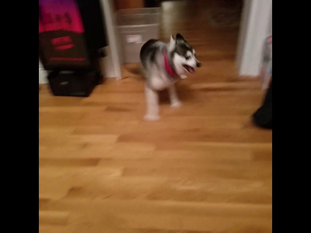 My derpy dog likes to drift on the hardwoods