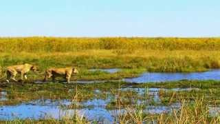Leões atacam filhote de búfalo em luta por sobrevivência (Fantástico) thumbnail