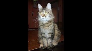 "Котята мейн кун V сезон. ""Lovitven"" online.  Эти котята продаются!!!"