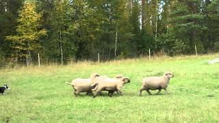 Bordercollie näyttää, miten lampaita paimennetaan