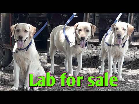Labrador Female For Sale || Lab For Sale