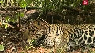 BBC Мир природы  Охота на ягуара