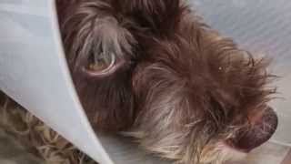 A 9-month-old Male Miniataure Schnauzer Has A Blocked Bladder - Day 2