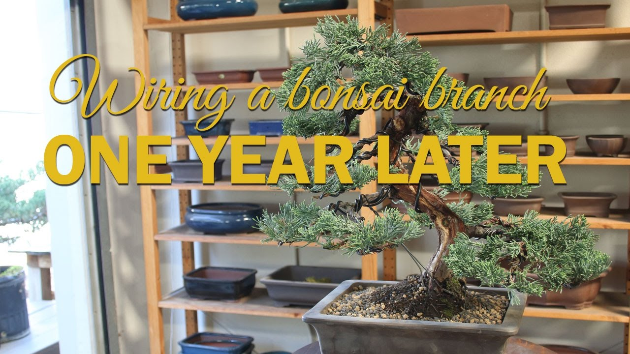how to wire a bonsai branch one year later youtube rh youtube com Japanese Bonsai Trees how to wire a bonsai tree youtube