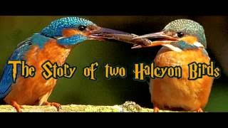 The story of two halcyon birds
