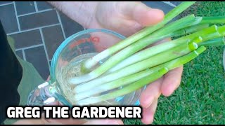 HOW TO GROW SCALLIONS/GREEN ONIONS from Store Bought Ones - GregTheGardener