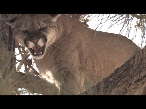 Mountian Lion Hunt In New Mexico