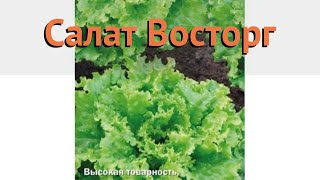 Салат обыкновенный Восторг Листовой (vostorg) 🌿 обзор: как сажать, семена салата Восторг Листовой