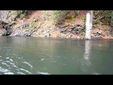 "Landing 31.5"" Steelhead trout on the Trinity River"