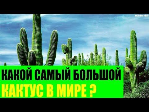 Какой самый большой кактус в Мире?