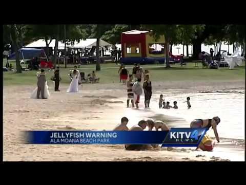 Jellyfish Warnings For Oahu Shores