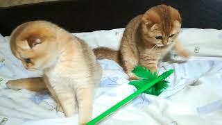 Шотландские котята Мигель и Мерилин Монро. Тиккированное зотото. Возраст 4,5 мес.