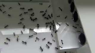 27 03 2015 Camponotus cruentatus