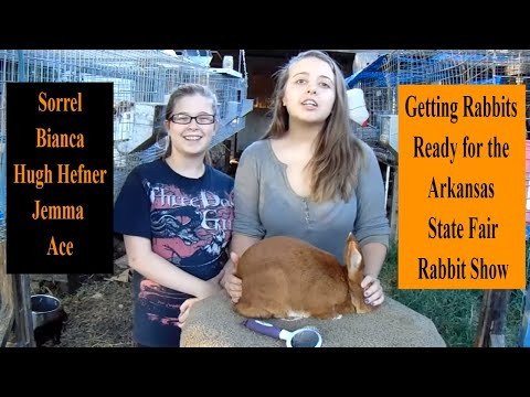 Showing Rabbits - Getting Rabbits Ready for the Arkansas State Fair Rabbit Show