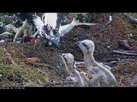 Live Fish Fed To Osprey Chicks On Wet Day In Savannah, GA – April 23, 2018