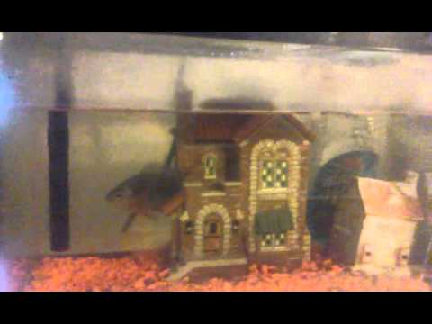 Pumpkin Seed Fish Eating In Captivity.
